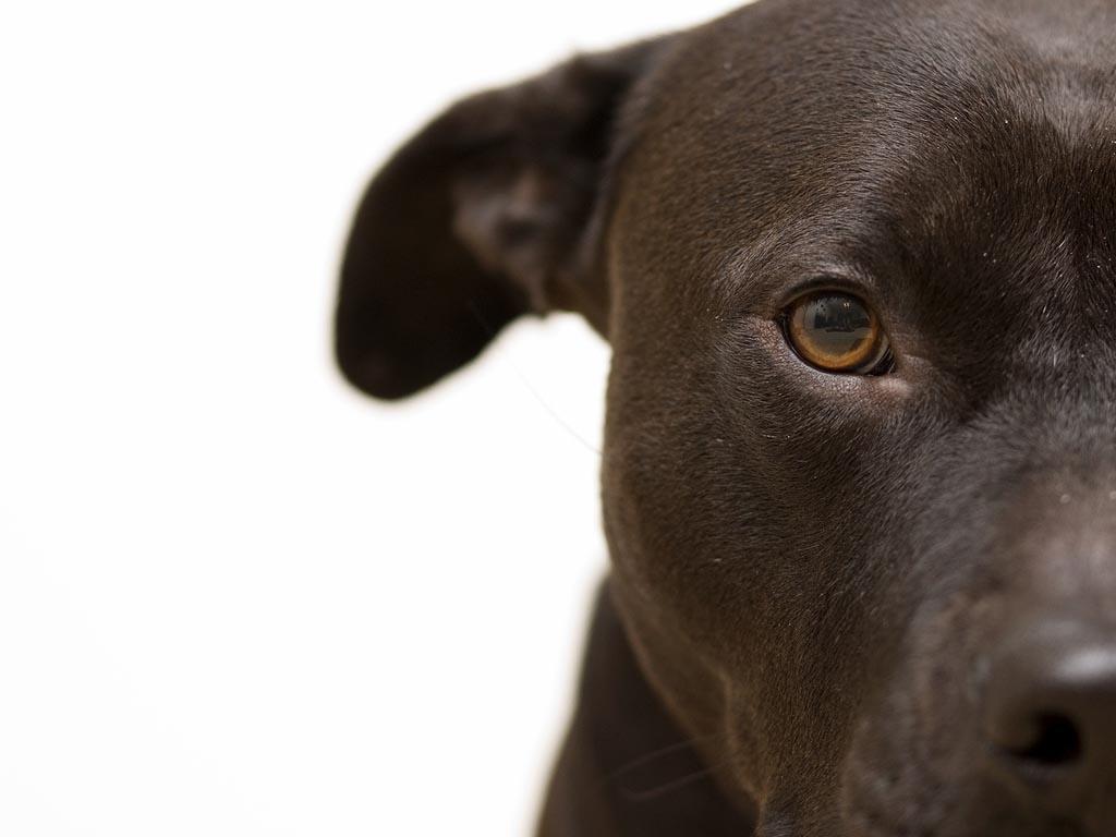 Pitbull Terrier Wallpapers - Wallpaper Cave
