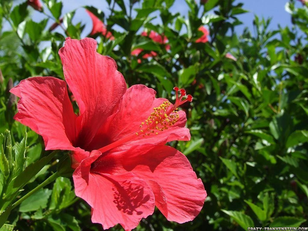 Hibiscus flower wallpapers wallpaper cave hibiscusflower wallpaper dhoomwallpaper latest hd izmirmasajfo