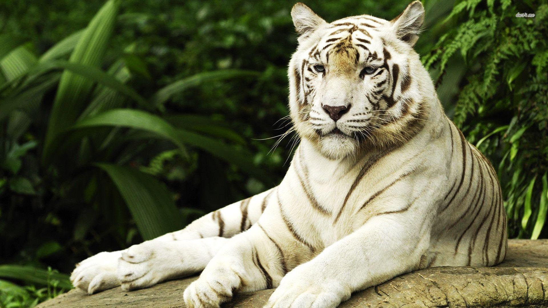 White Tiger Wallpapers Hd Wallpaper Cave