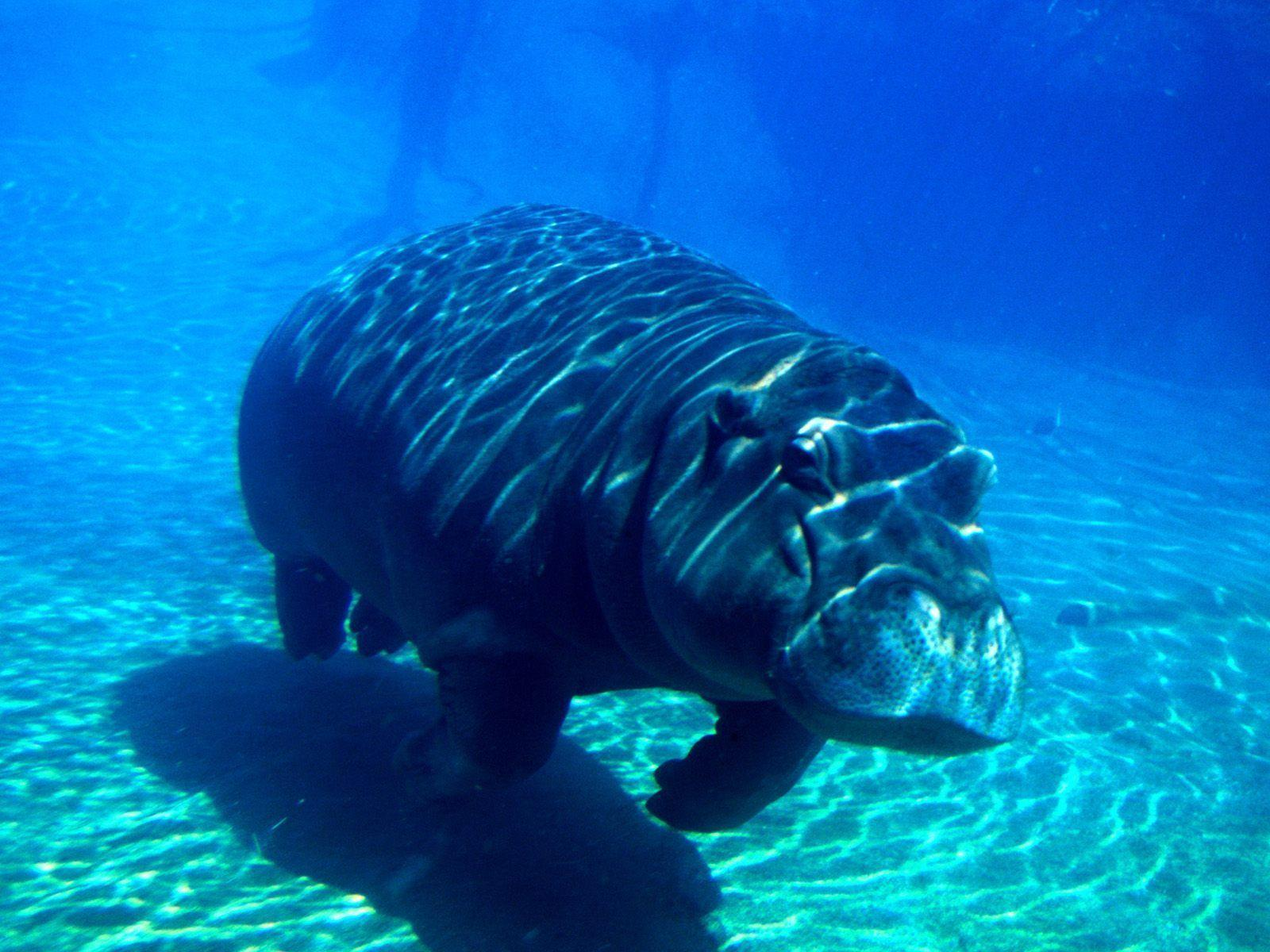 Underwater Hippopotamus Picture Background
