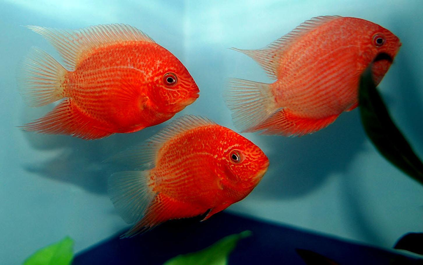 Free wallpapers Red Severums fish