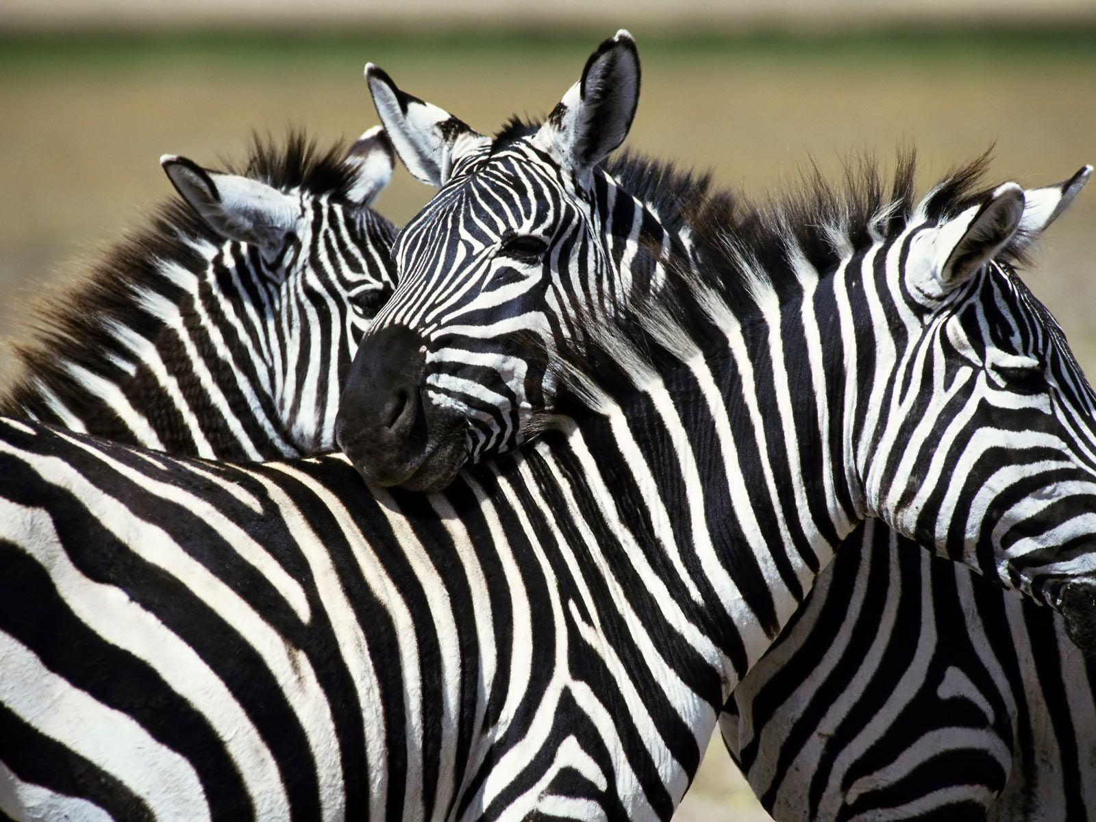 Zebra Desktop Backgrou...