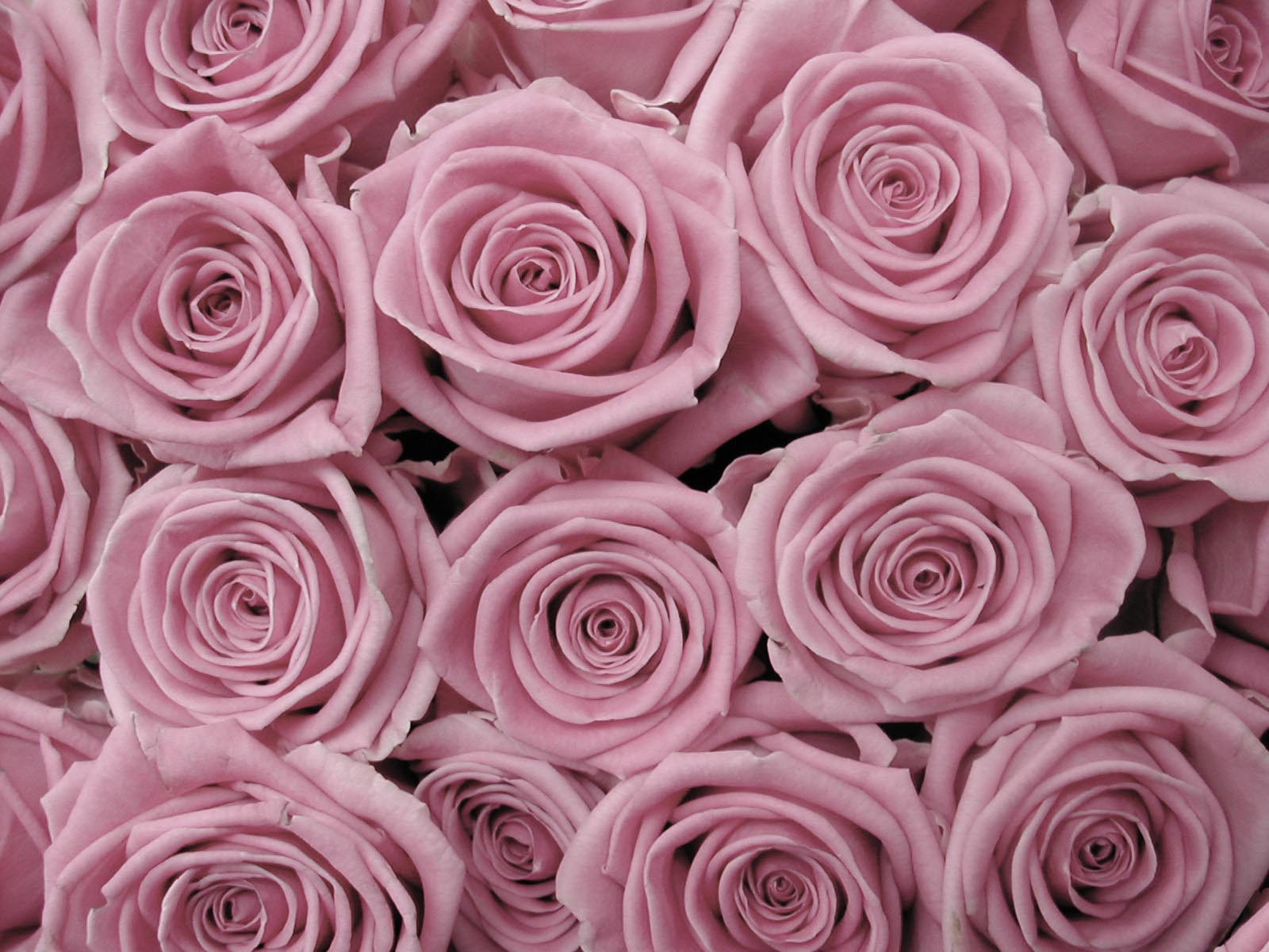 Rose Backgrounds Wallpaper Cave