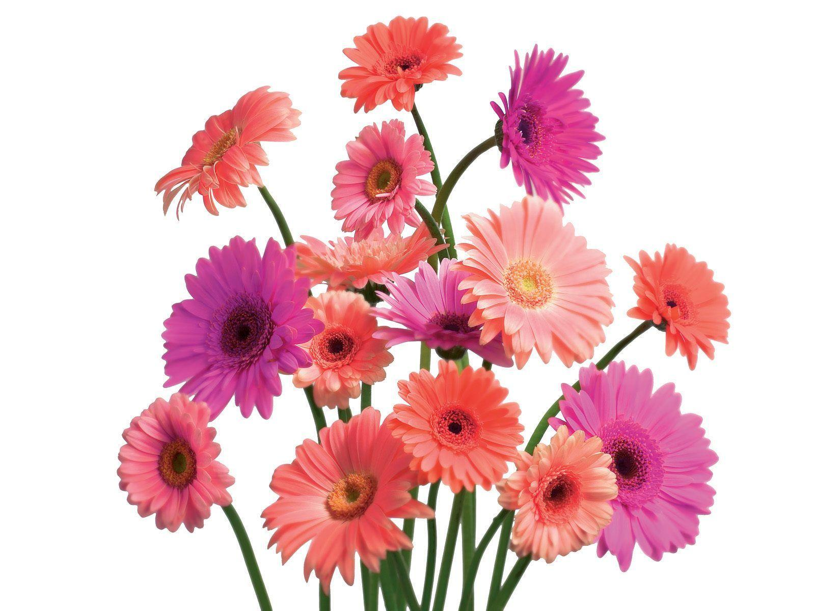 Gerbera daisies wallpapers wallpaper cave for Bouquet de fleurs gerbera