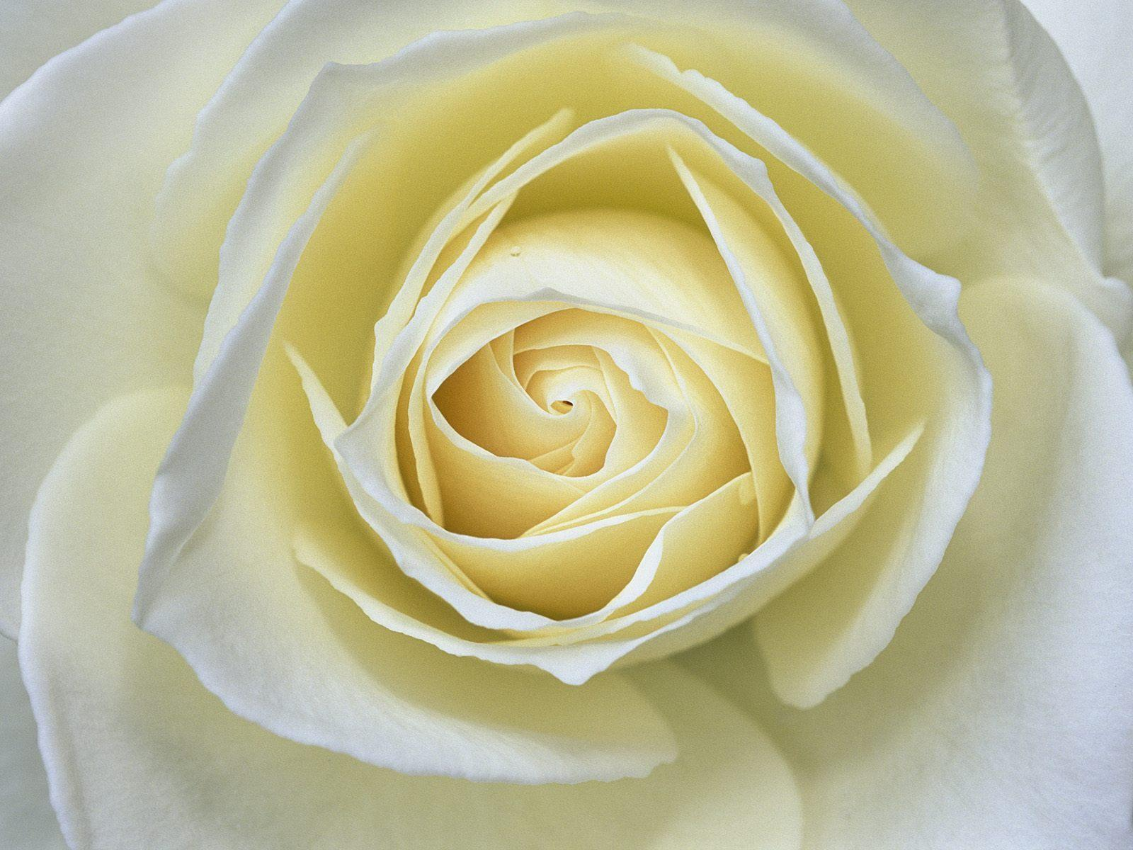 Delicate white rose macro free desktop backgrounds