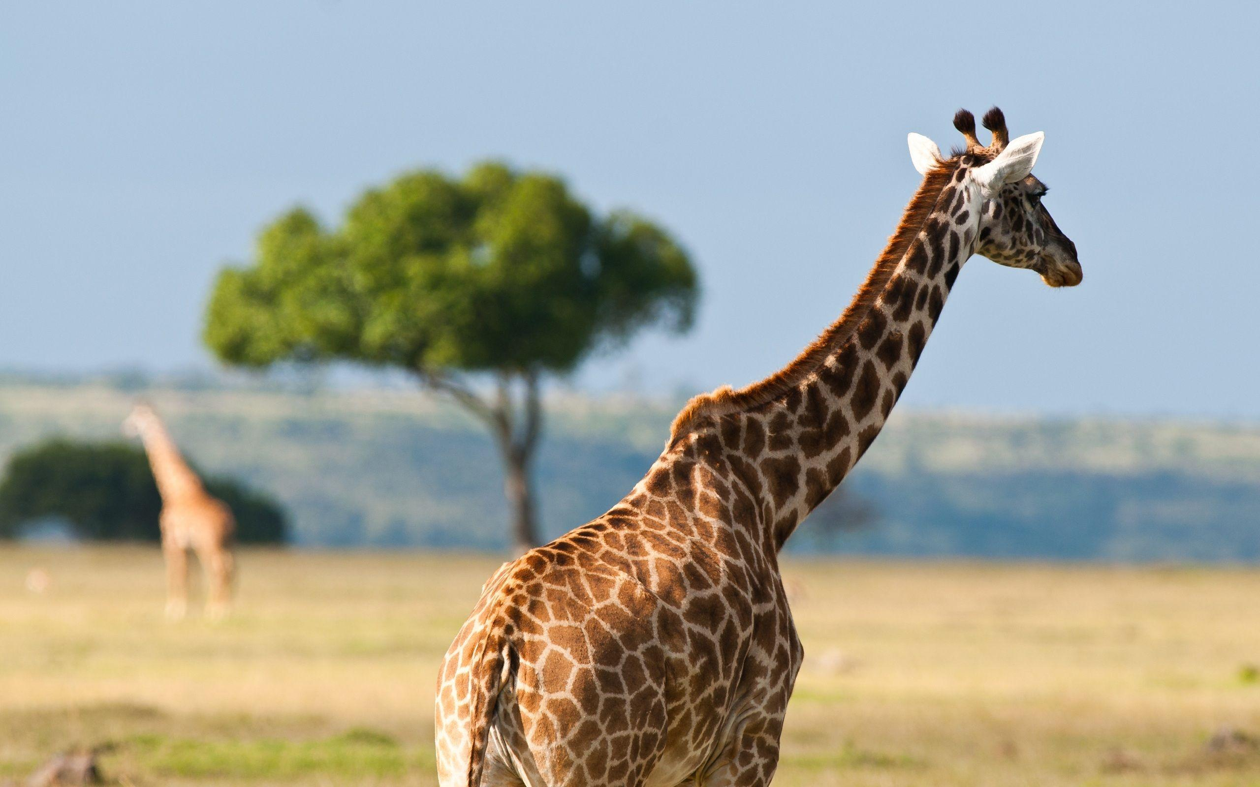 Giraffe In The Safari - Wallpapers AM