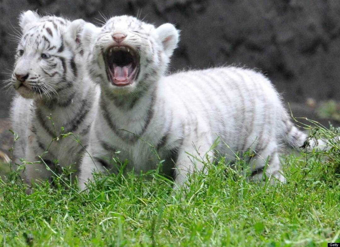 Baby white tiger pictures