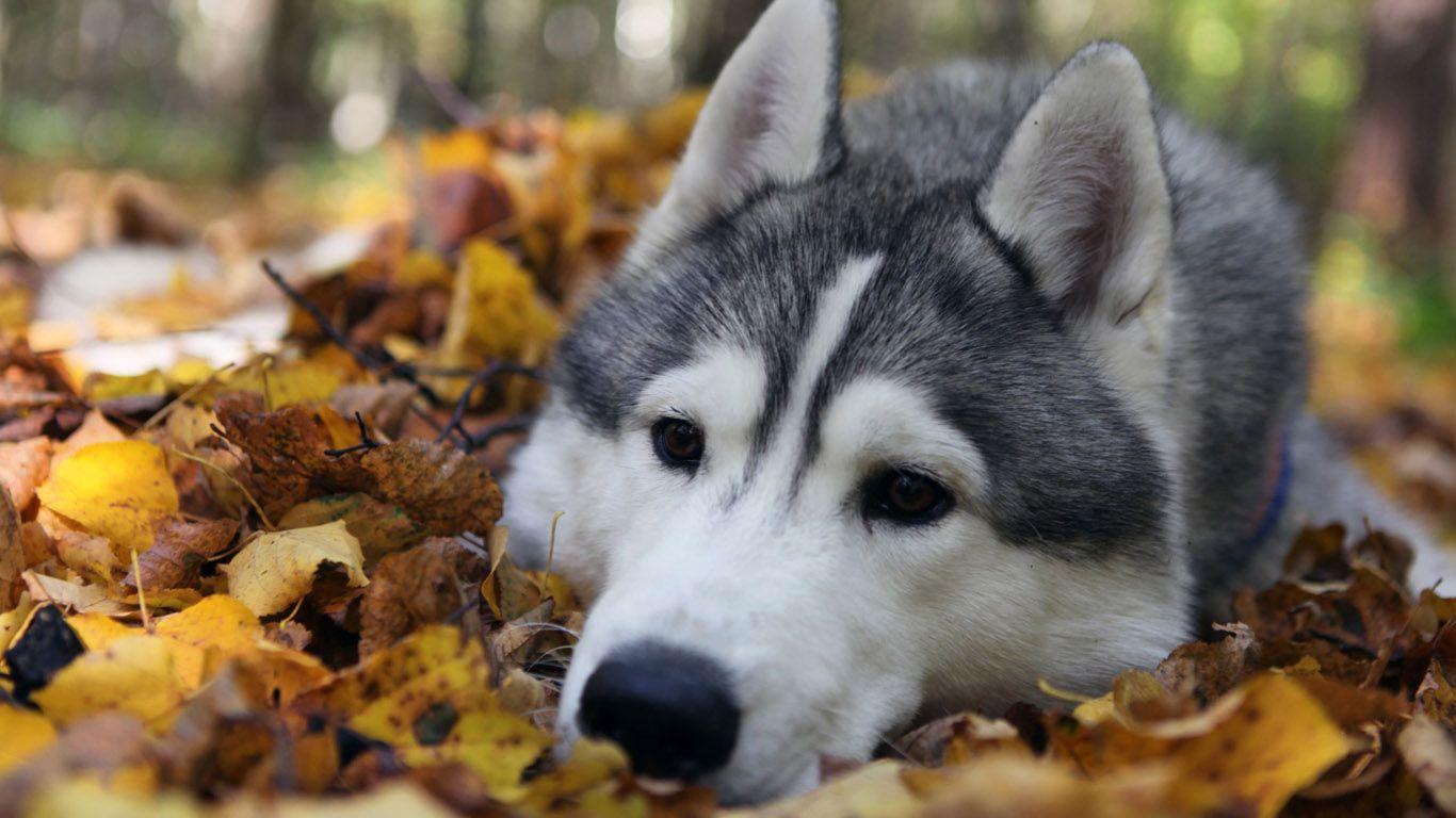 10+ Gambar anjing husky keren terupdate