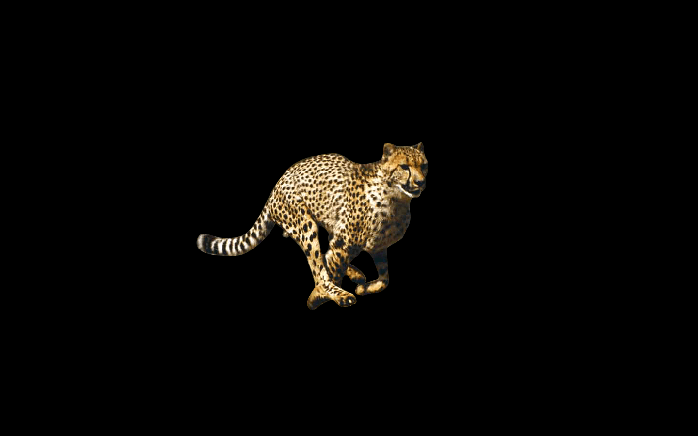 black cheetah wallpapers wallpaper cave