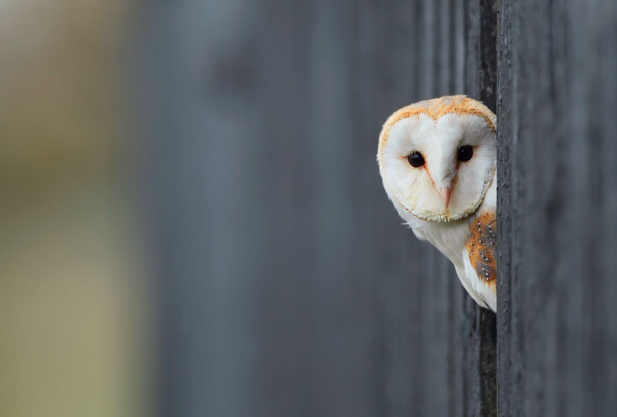White Owl Wallpapers - Wallpaper Cave