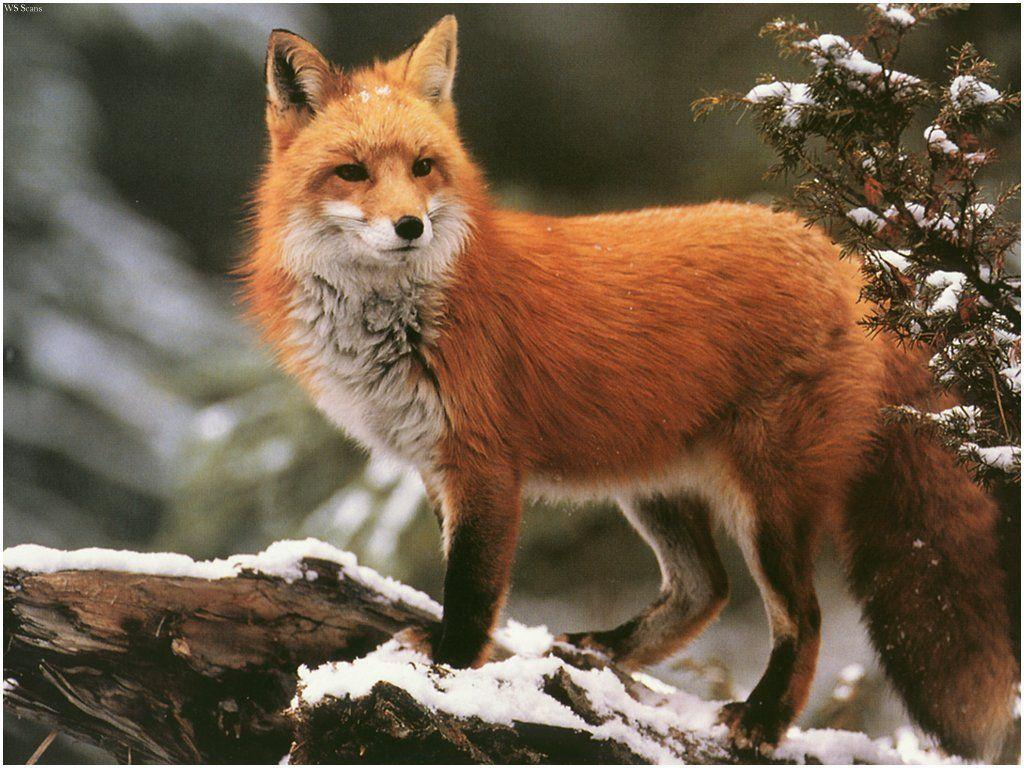 Image - Winter red fox wallpaper-normal.jpg - Austin & Ally Wiki