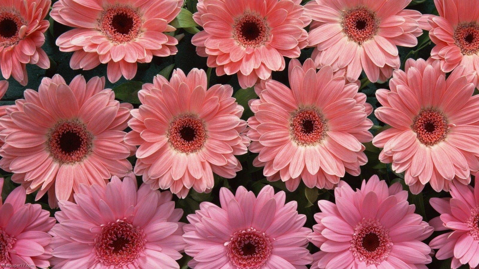Pink Flowers Names Pictures And Names Pink Flowers Names Types Of