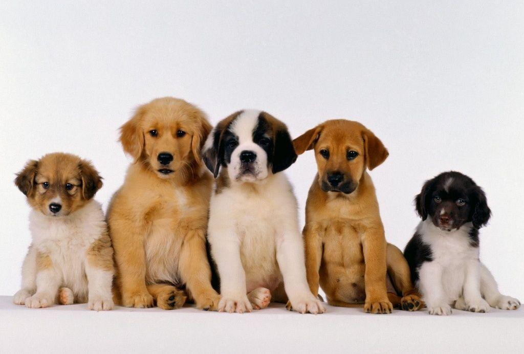Free Puppy Wallpapers For Computer Wallpaper Cave