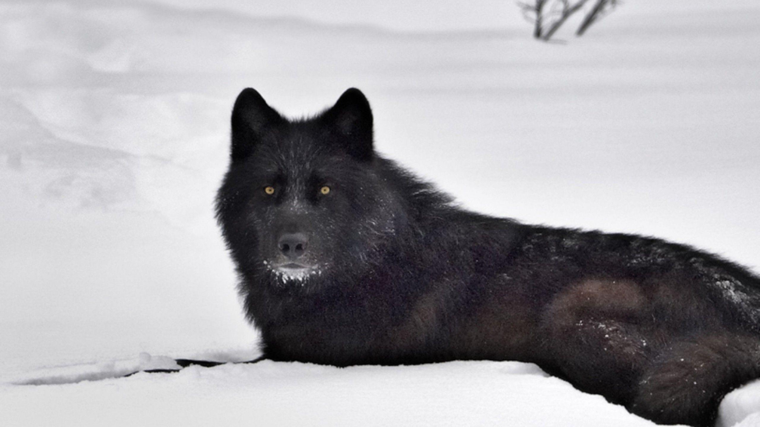 Hd wallpaper wolf - Black Wolf In Snow Wallpapers Hd Wallpapers Inn