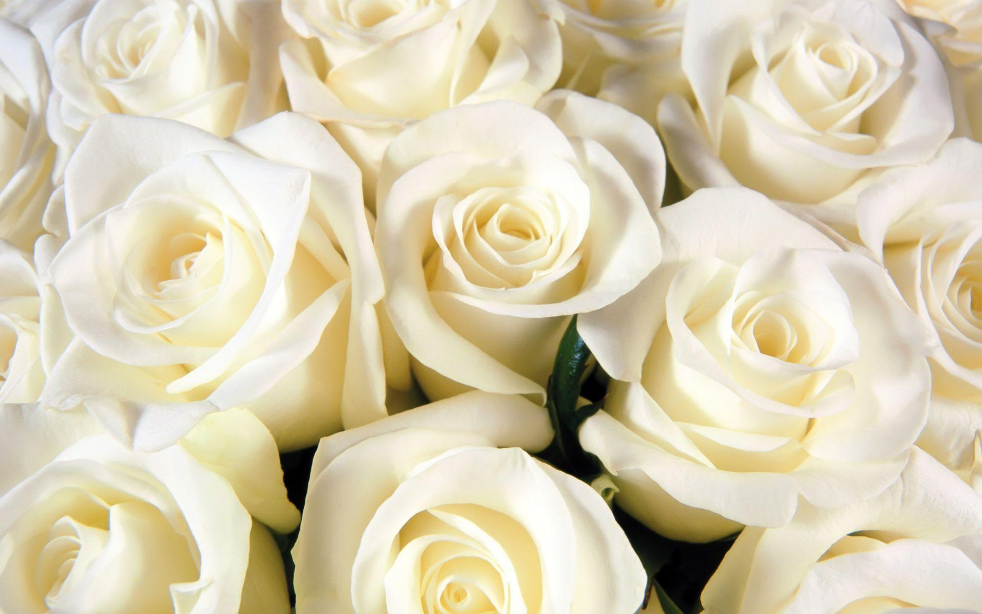 amazing flower white roses backgrounds hd wallpapers