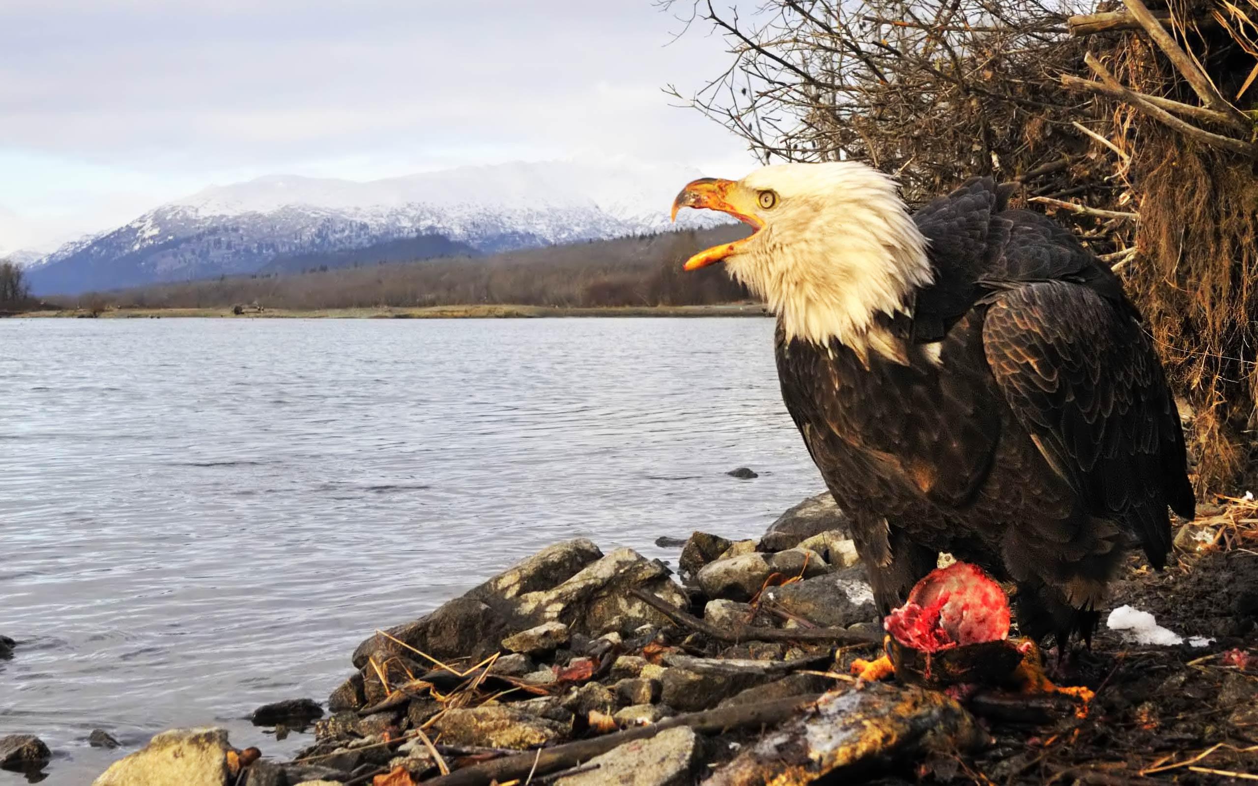 720x1280 - Animal/Bald Eagle - Wallpaper ID: 184806