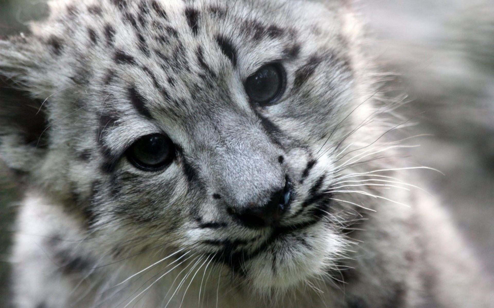 Snow Leopard Cub Wallpaper By Fugal