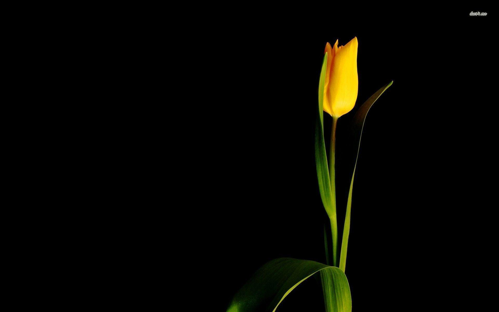 Images For > Single Flower Hd Wallpaper