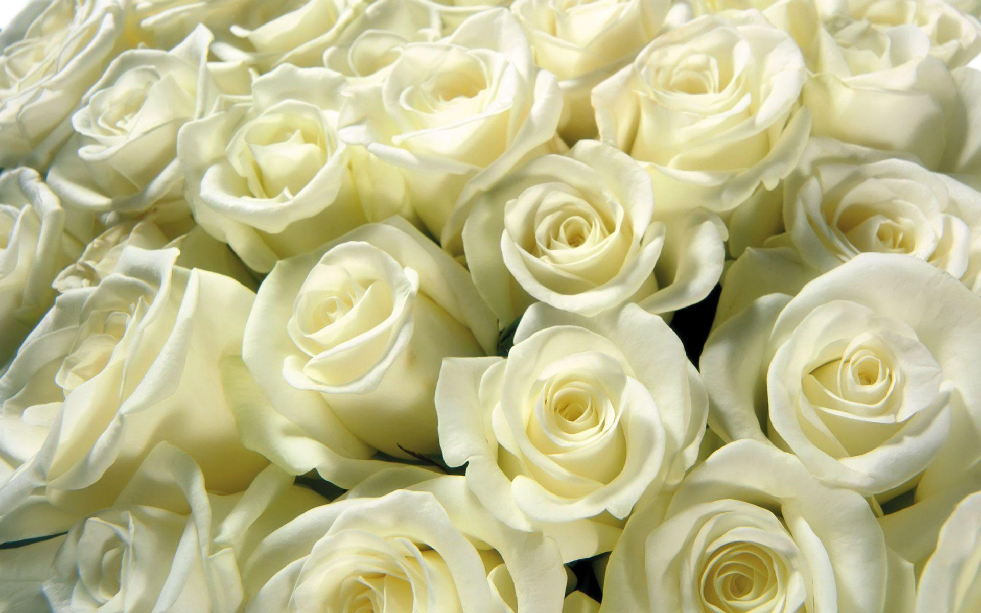 White Rose HD Backgrounds Wallpapers