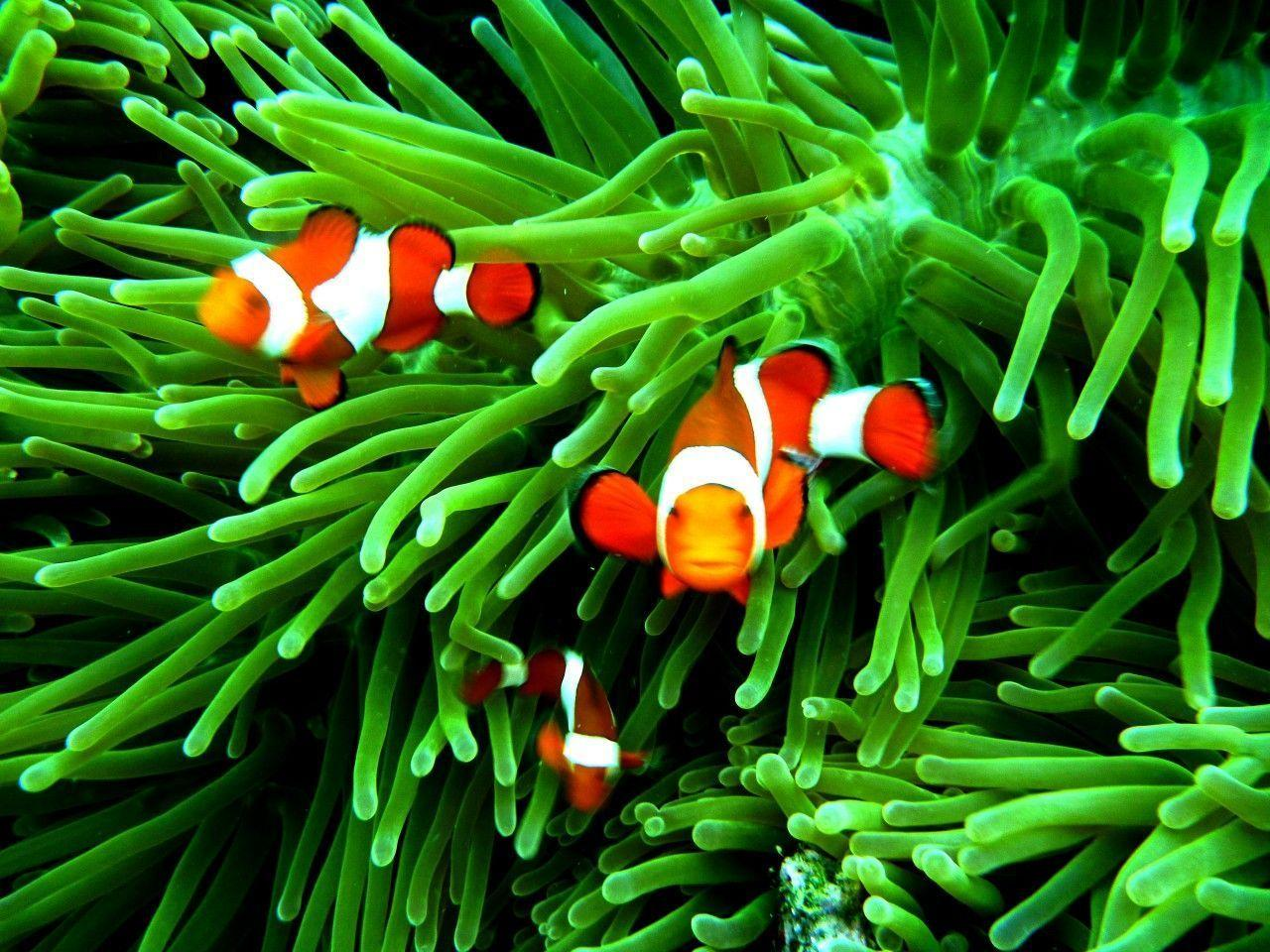 Beautiful Clown Fish Wallpapers Hd Backgrounds Photo 41397 Label