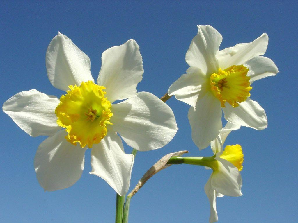 Daffodil Wallpapers Wallpaper Cave