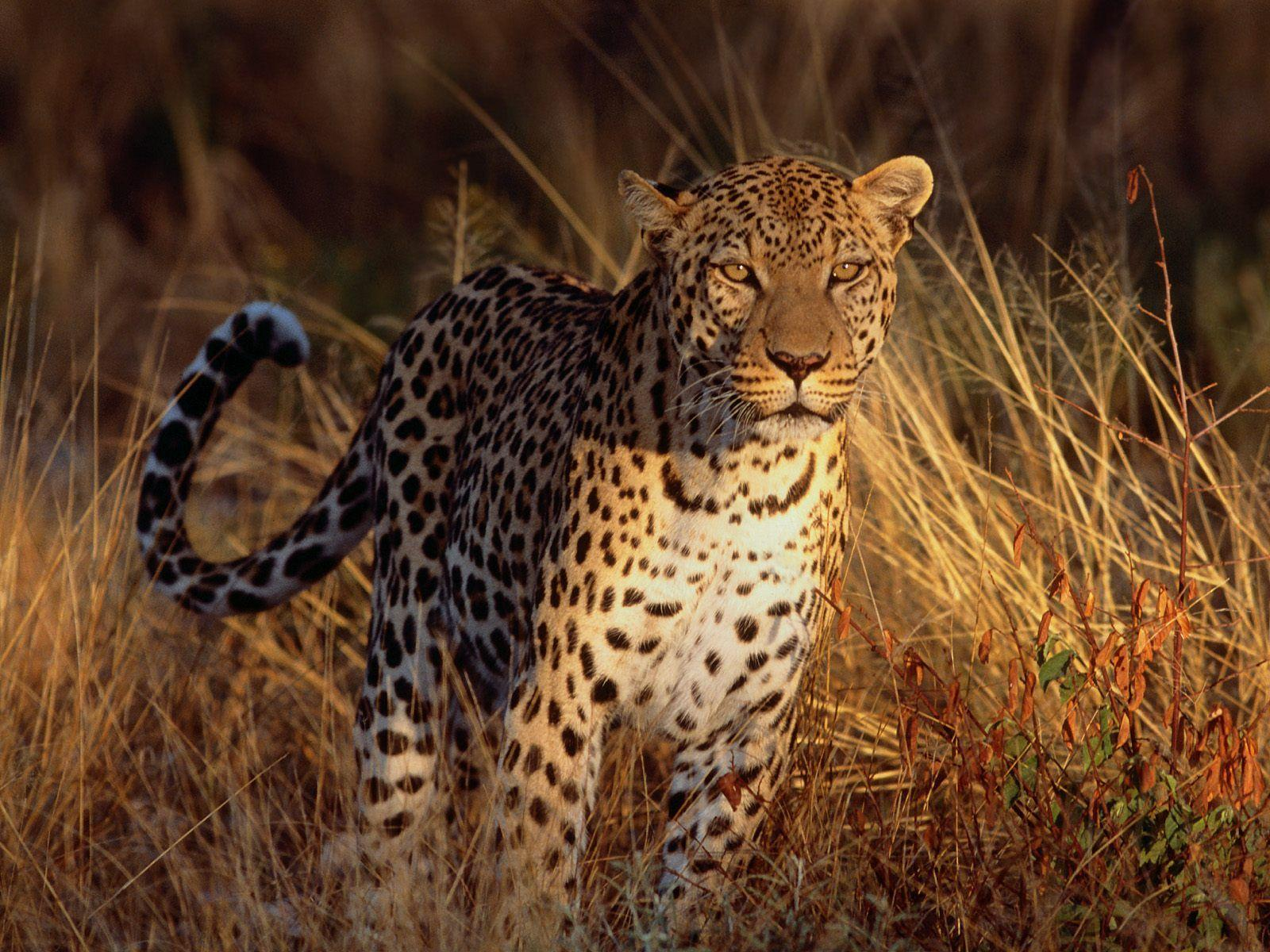Leopard wallpapers wallpaper cave intense focus leopard wallpapers hd wallpapers voltagebd Image collections