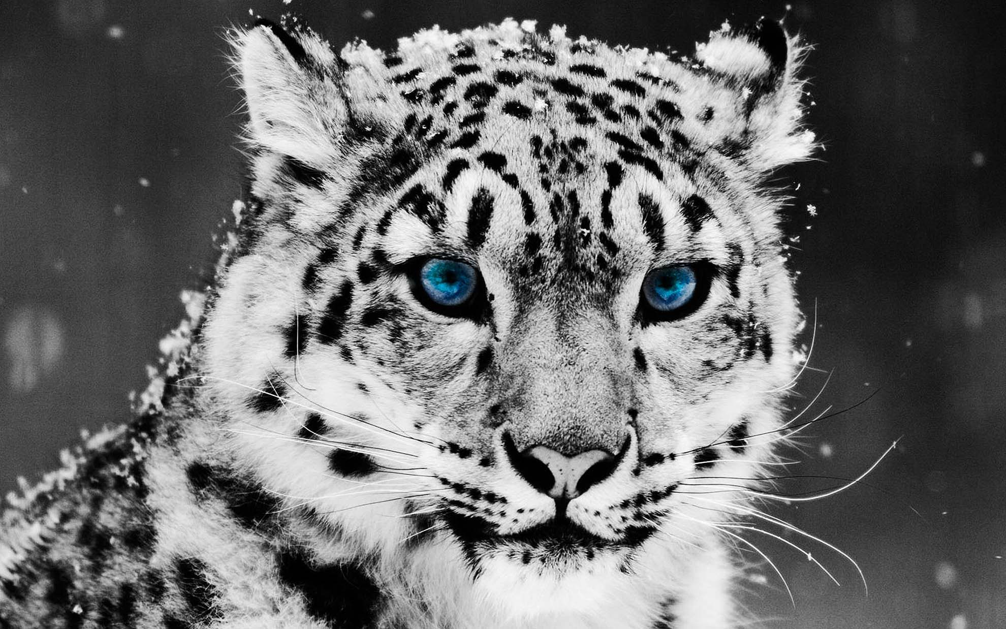 white leopard wallpapers wallpaper cave