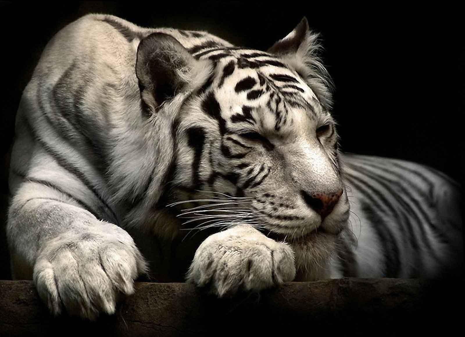 white siberian tiger - photo #31
