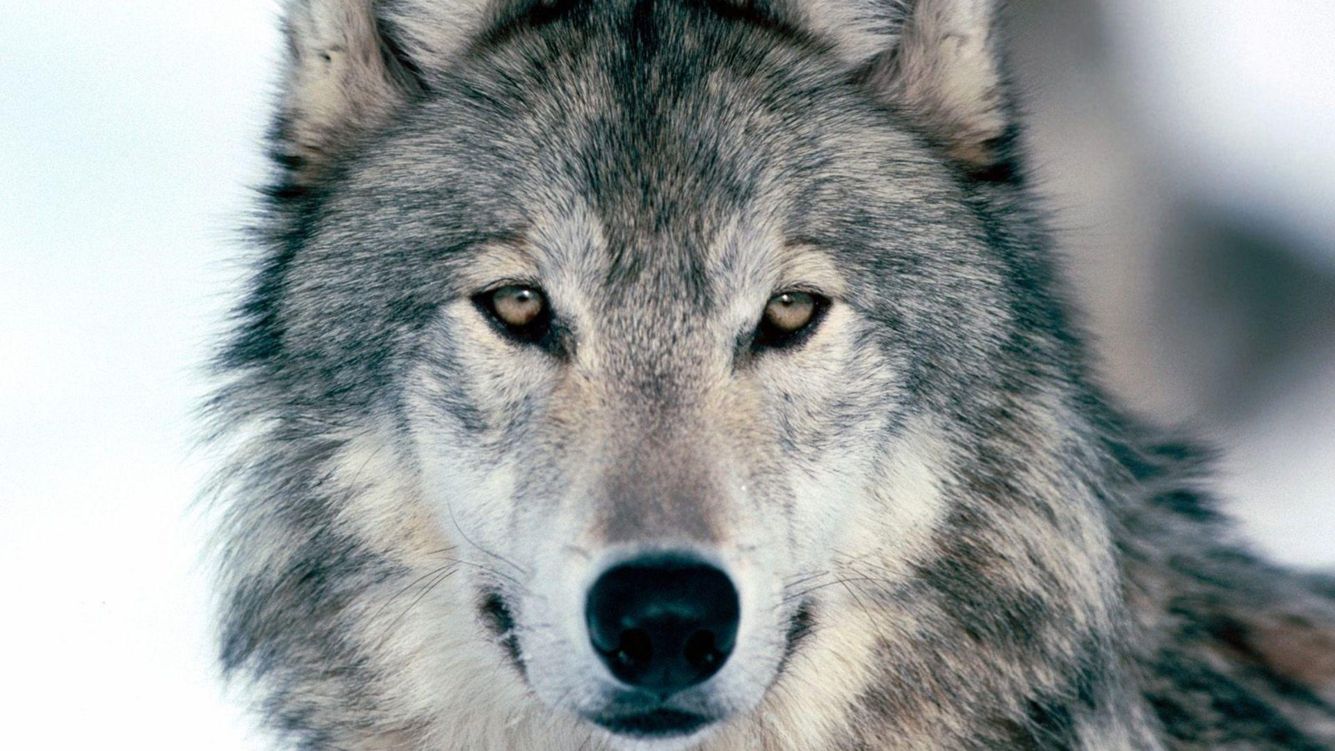 Nature-Wolf-Wallpaper-1920x1080-Nature-Wolf wolf animal HD free ...