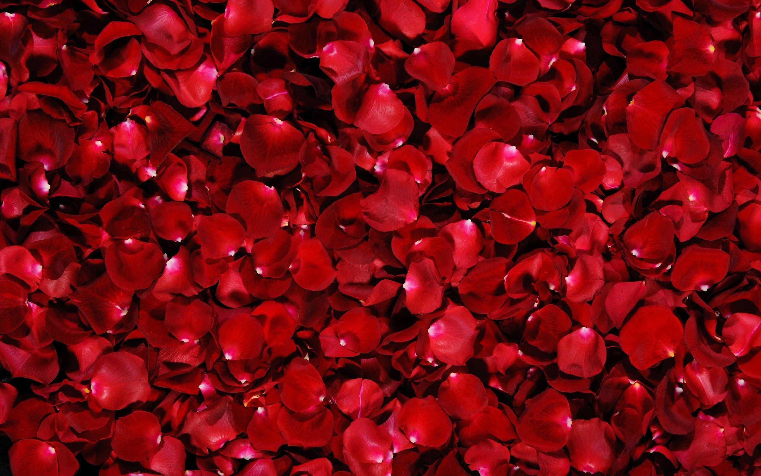 Red Rose Flower Backgrounds Wallpaper Cave
