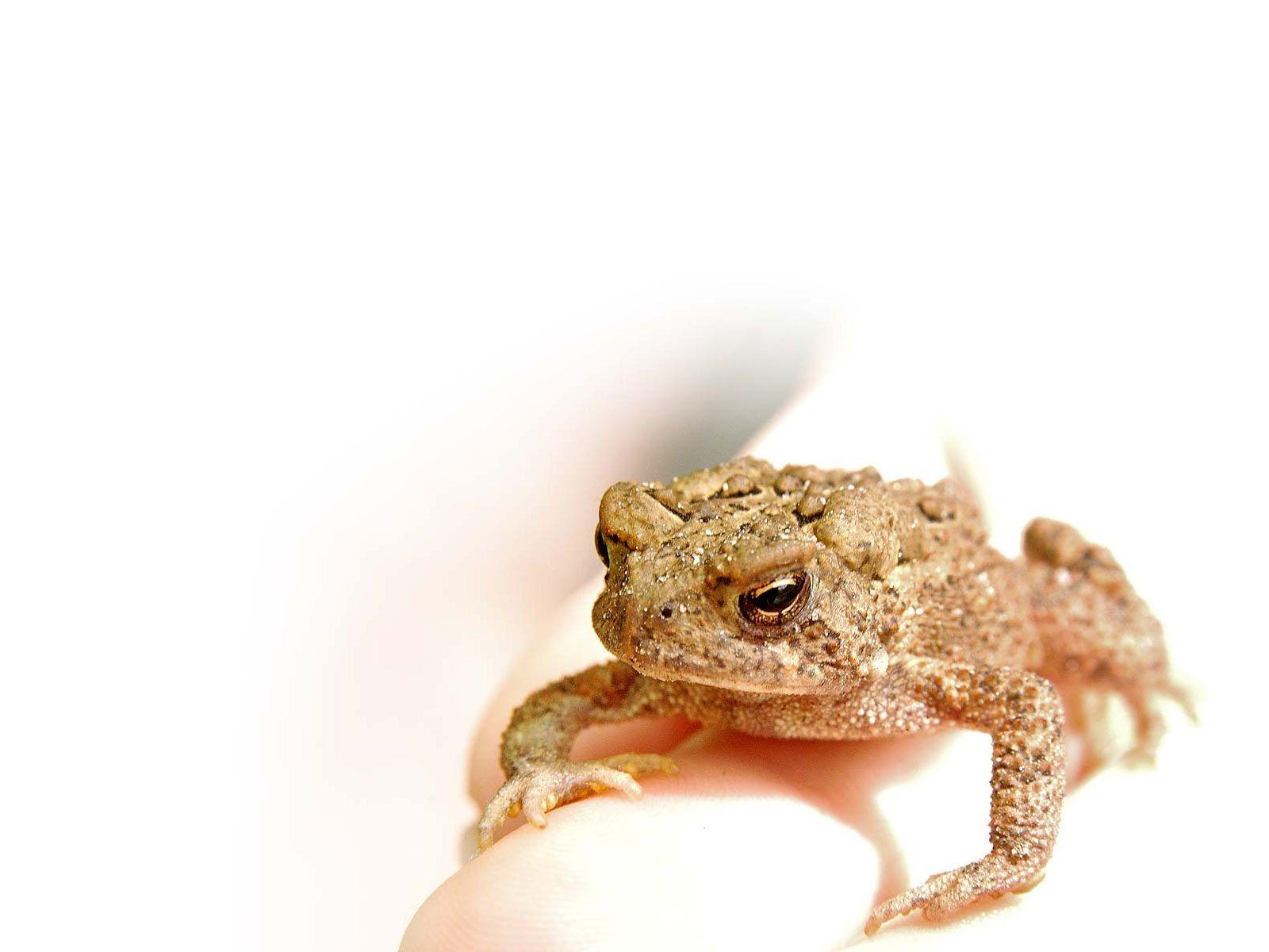 Desktop Wallpapers · Gallery · Animals · American toad