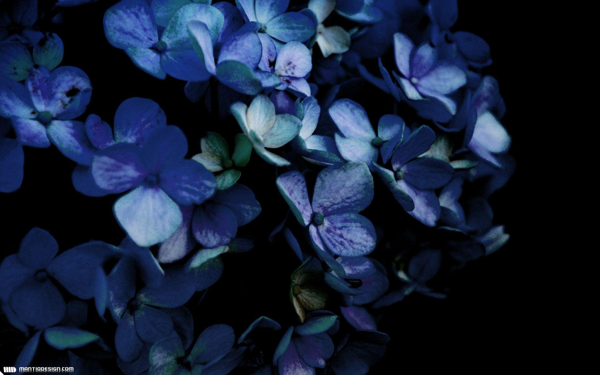 hydrangea backgrounds wallpaper cave