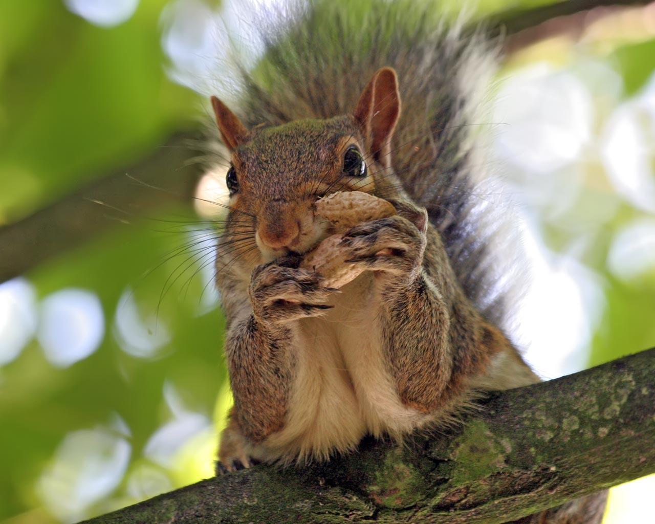 Squirrel Peanut wallpaper - Animal Backgrounds