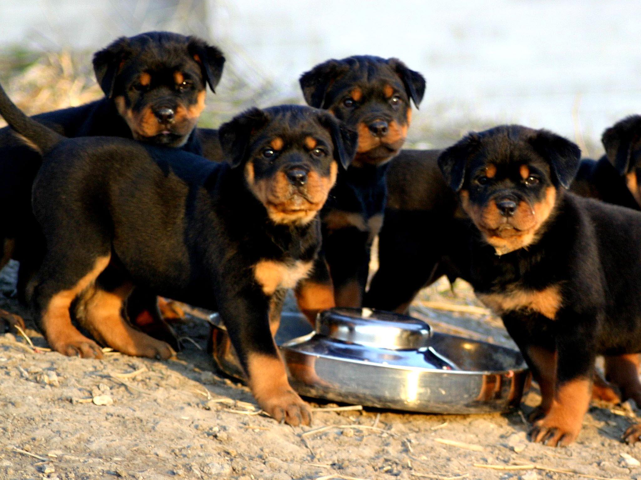 Cute rottweiler puppies eating wallpaper