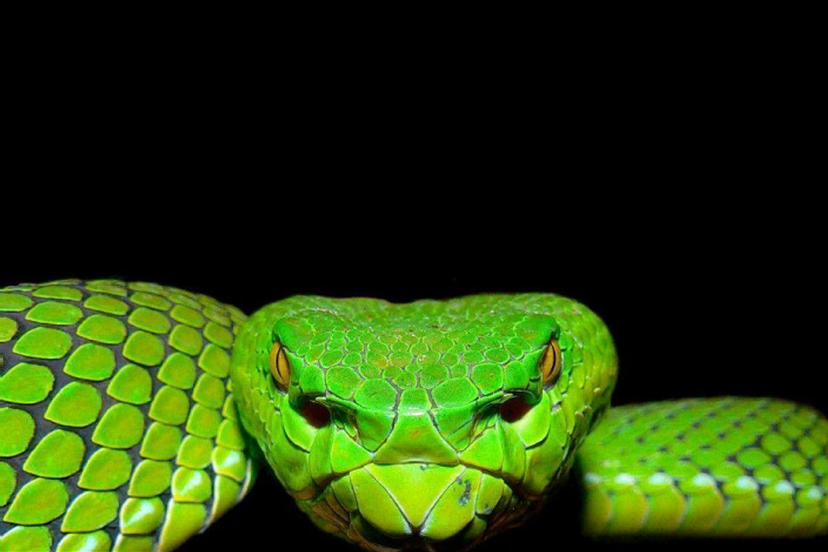 gaboon viper snake wallpaper helionip