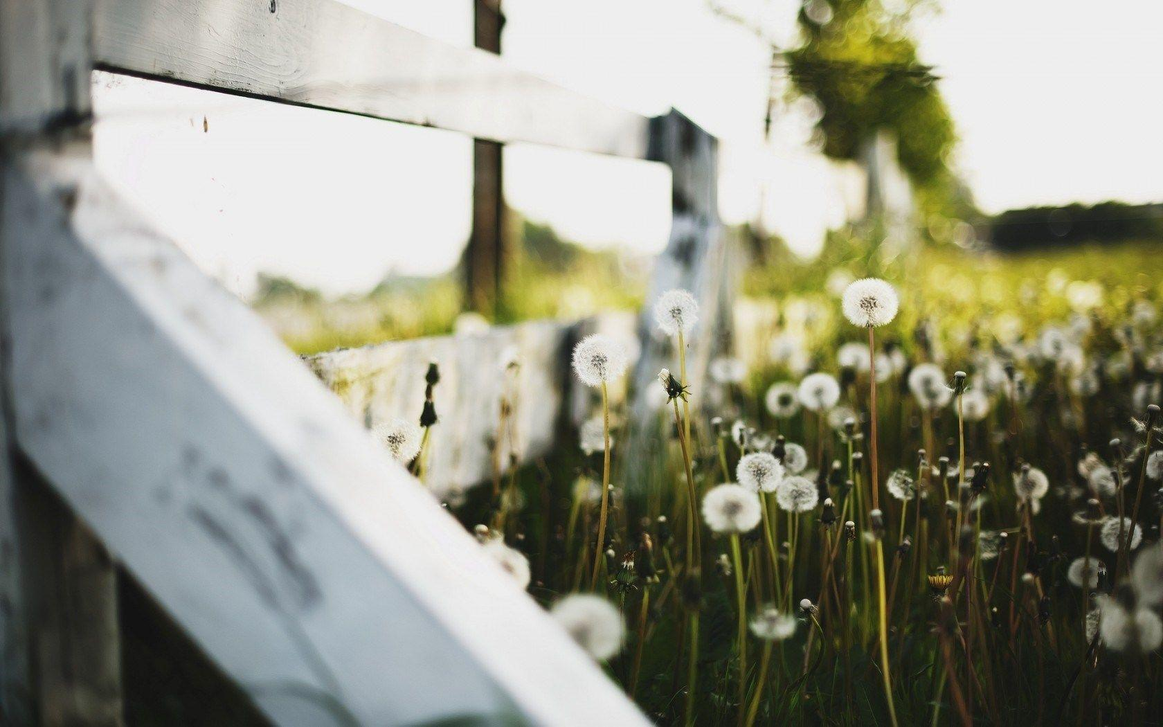 White Fence Dandelion Field Focus Nature HD Wallpapers