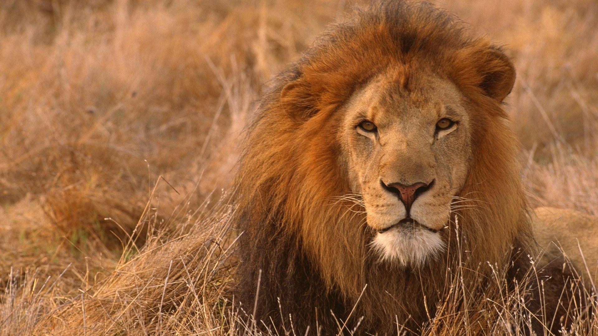lion hd wallpapers 1024x768 - photo #13