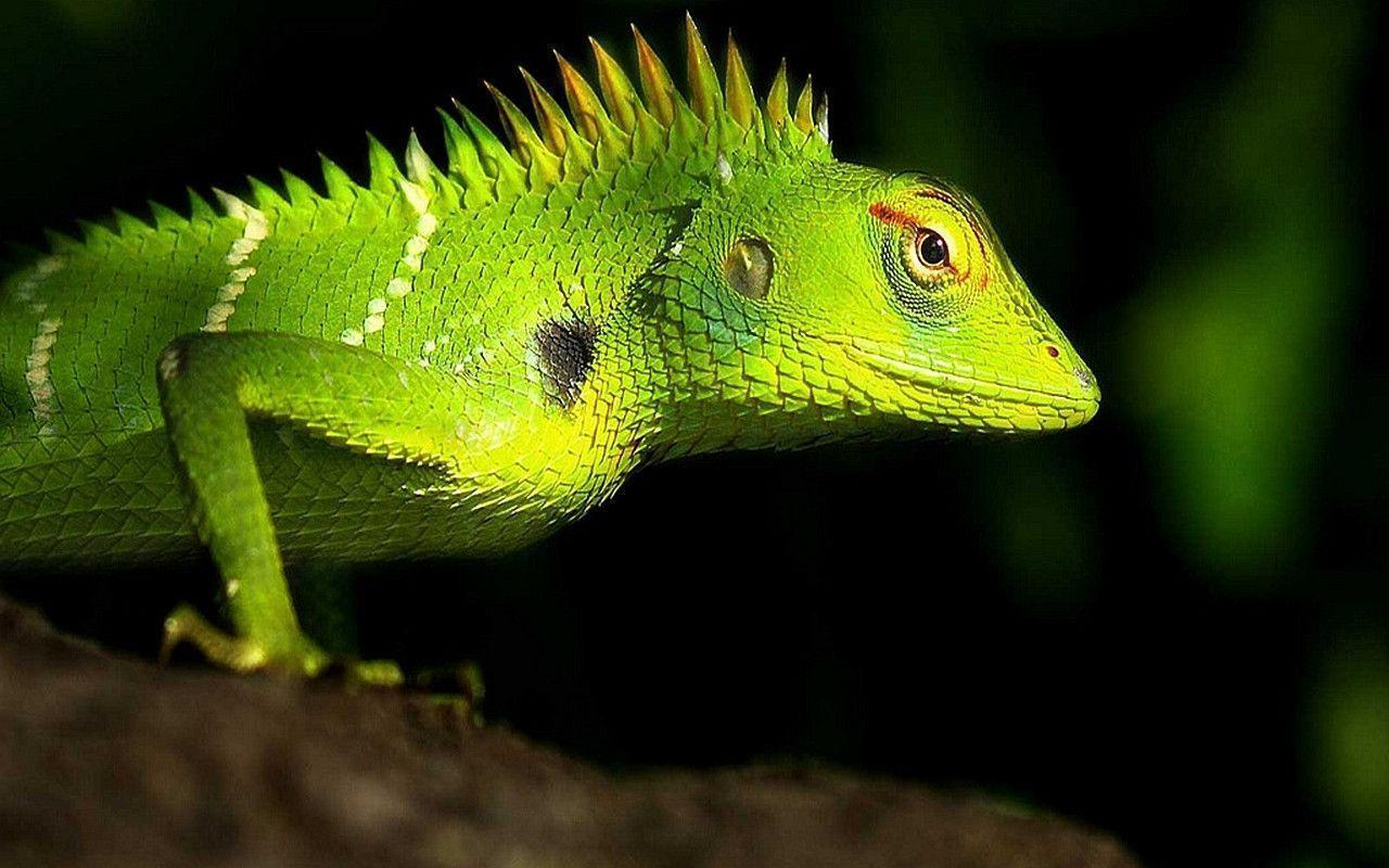 269 Lizard Wallpapers | Lizard Backgrounds Page 4