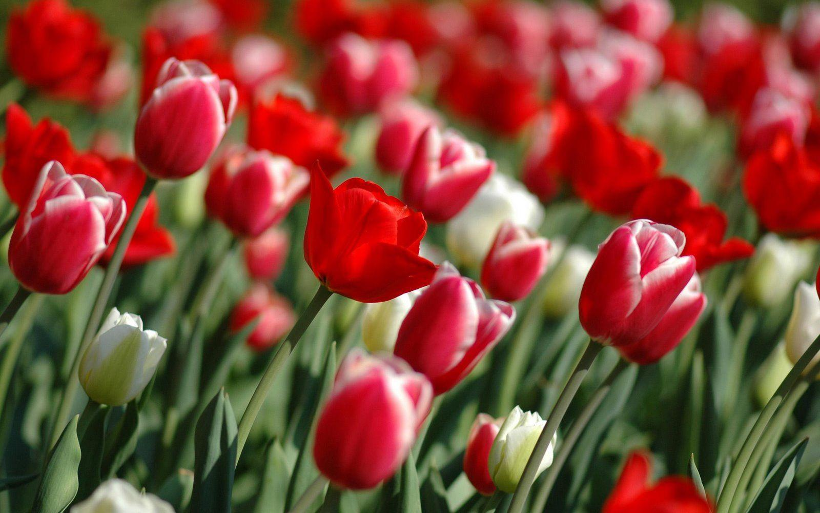 Tulip Flower HD Wallpapers