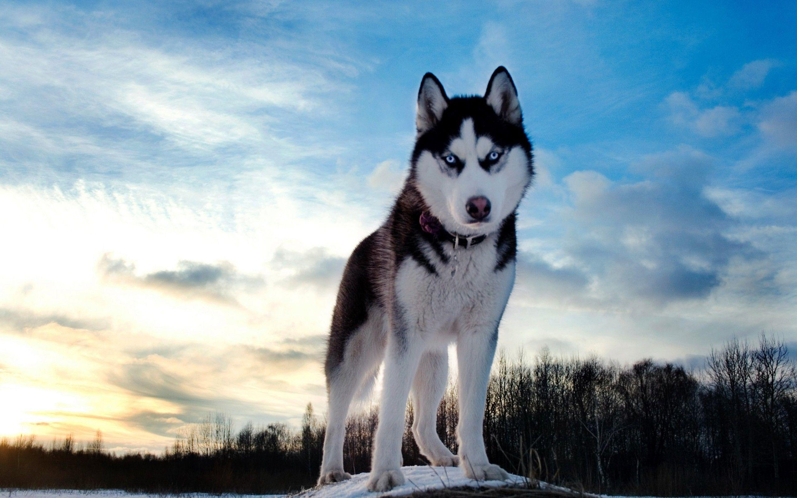 Siberian Husky Wallpapers Wallpaper Cave