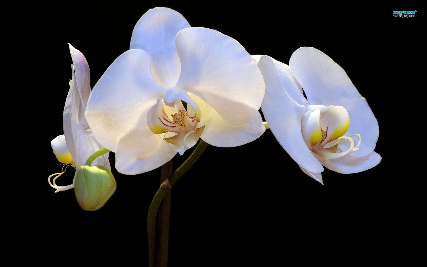 white orchid wallpapers wallpaper cave