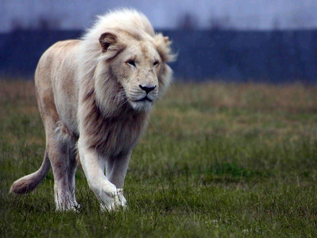 Wallpaper download lion - Free Download Lion Wallpaper