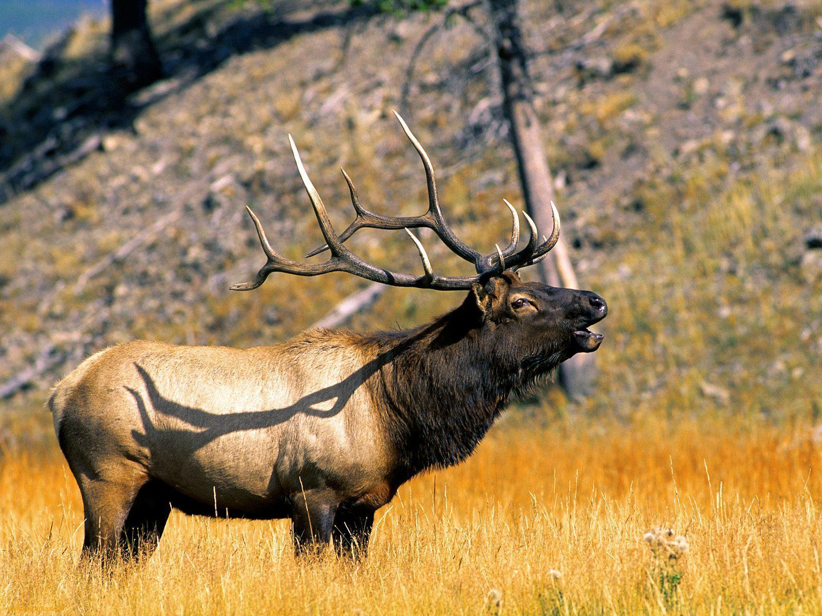 Elk bull wallpaper