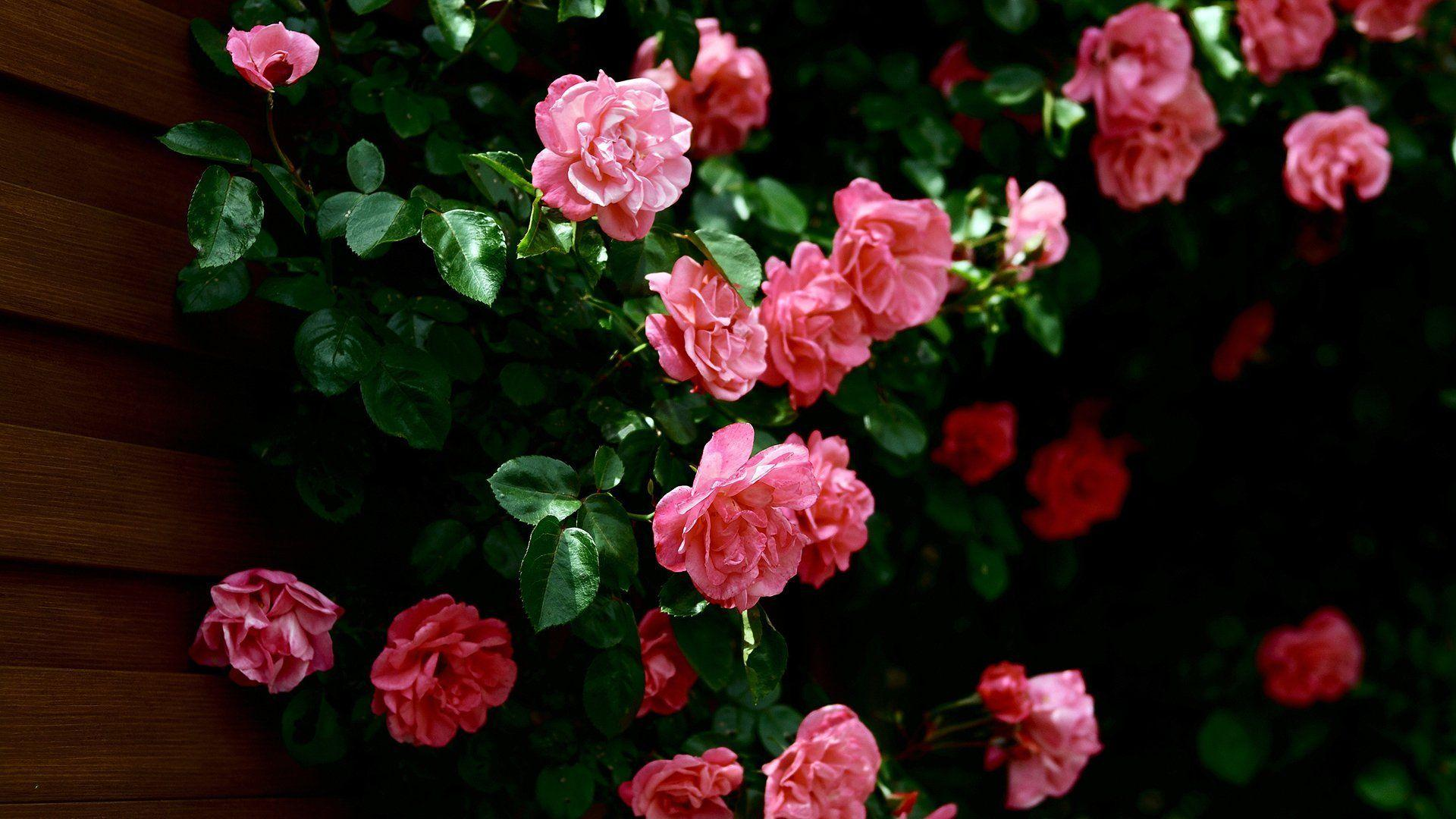 Rose Flowers Backgrounds Wallpaper Cave