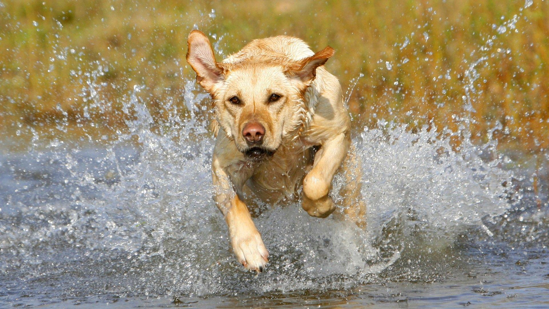 Download Golden Labrador Wallpaper 1920x1080 | Wallpoper #313754