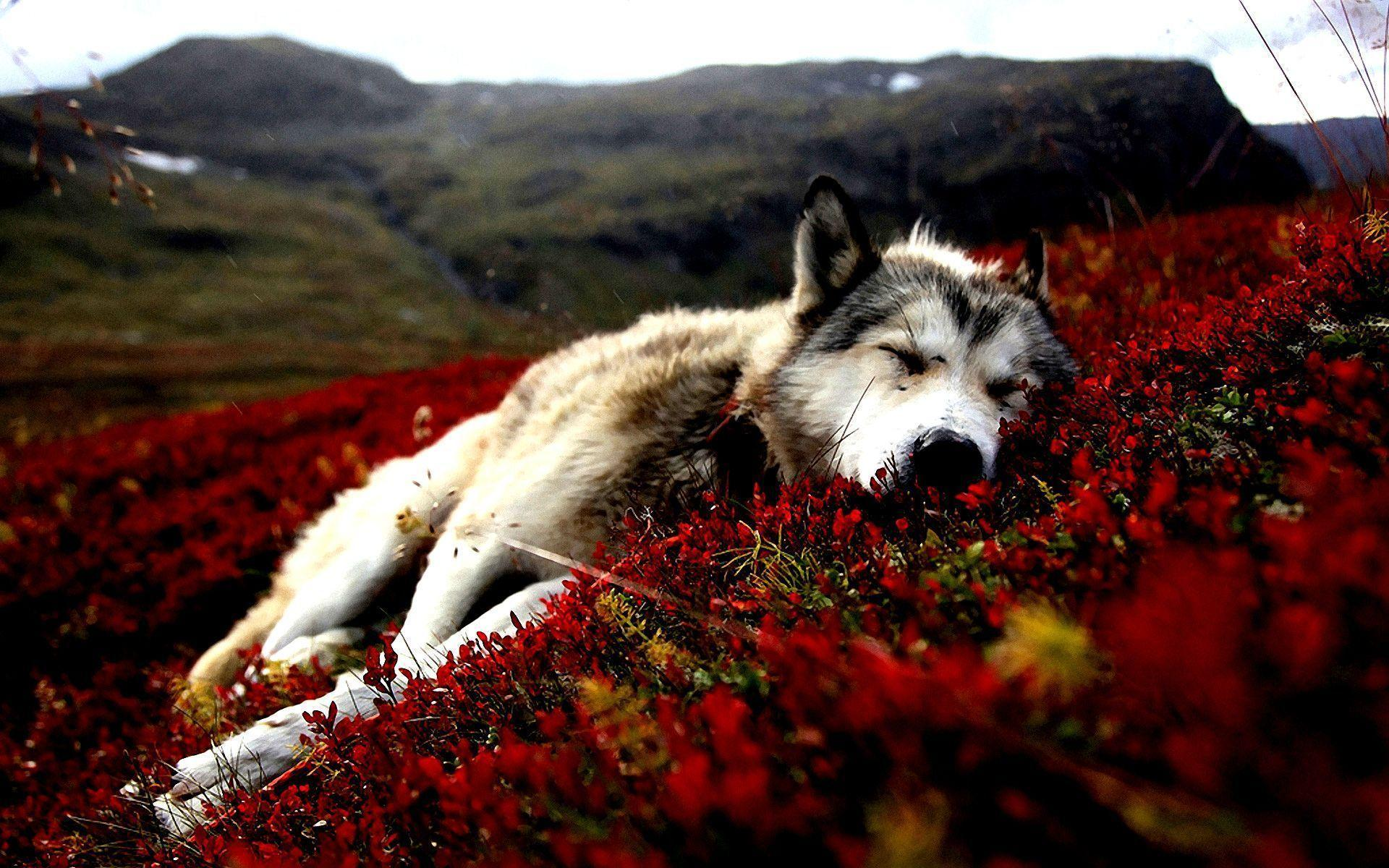 Download Dogs Alaska Wallpapers 1920x1200