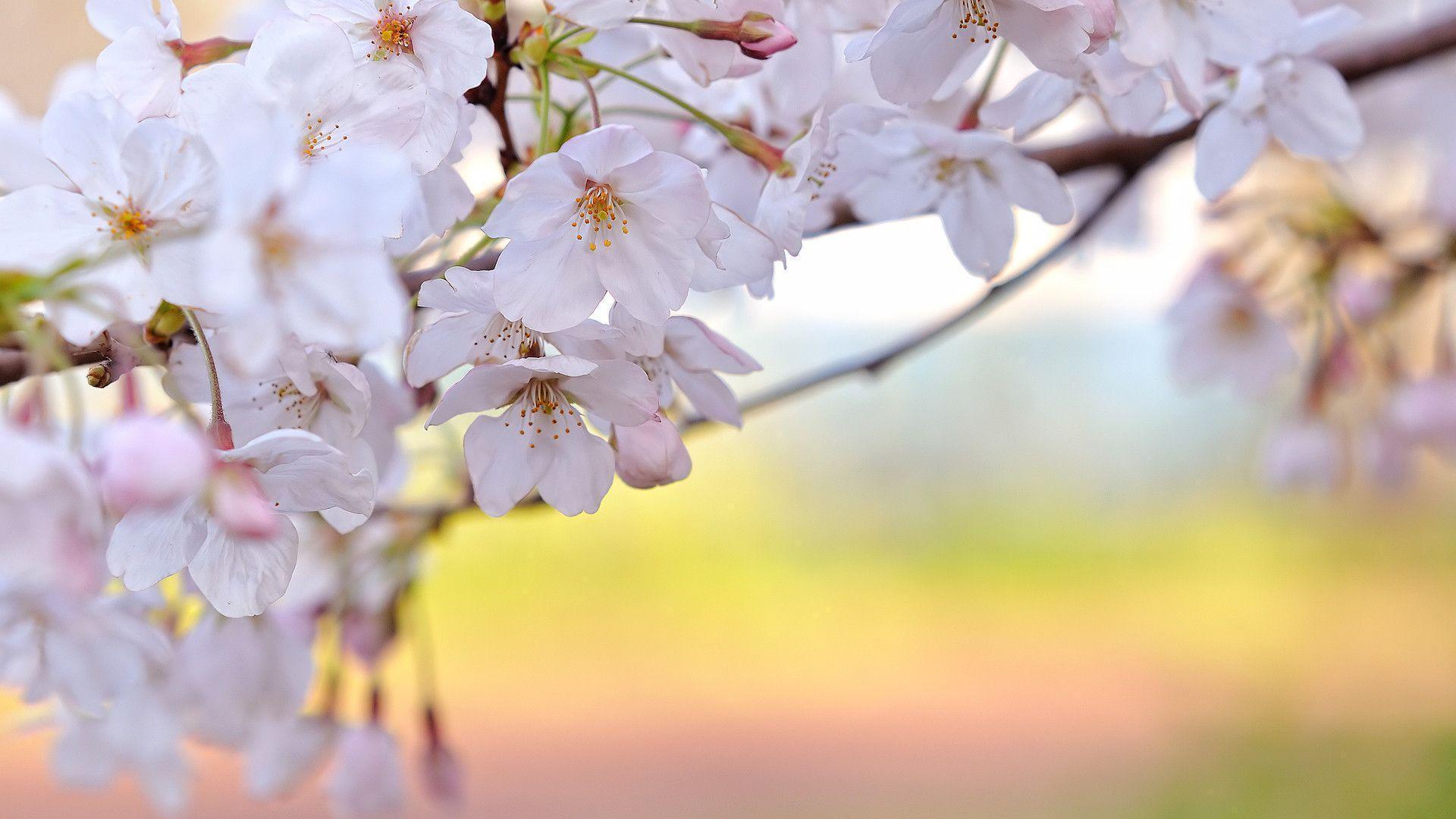 Sakura Flower HD Wallpaper Pics