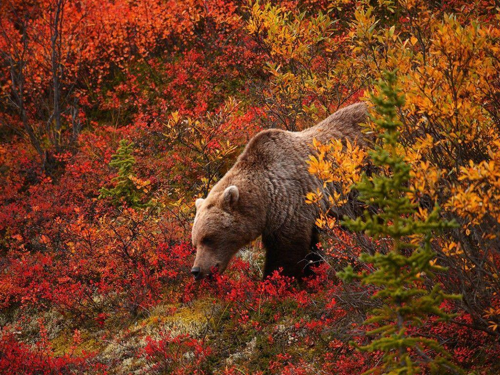 Pix For > Hd Grizzly Bear Wallpaper