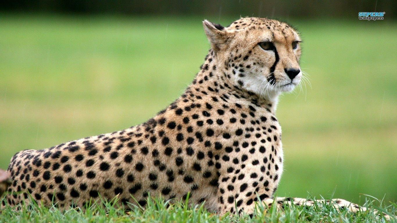 Cheetah wallpaper - Animal wallpapers - #