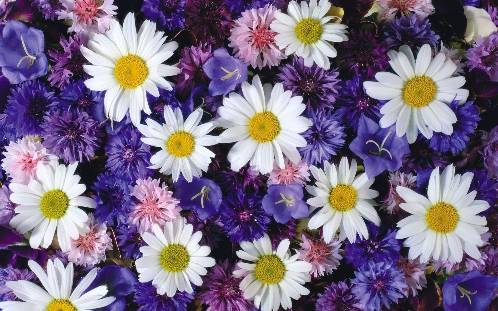 Cornflowers and daisies wallpapers #